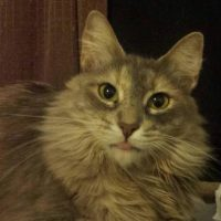 Cat for adoption in St. Louis